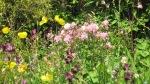 Geranium phaeum, meconopsis cambrica, double pink aquilegia